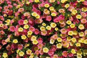 millionbells-calibrachoa double pink yellow