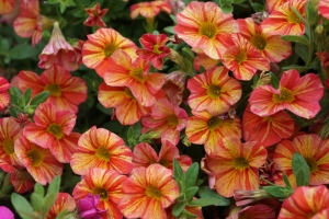 millionbells-calibrachoa tropical sunrise